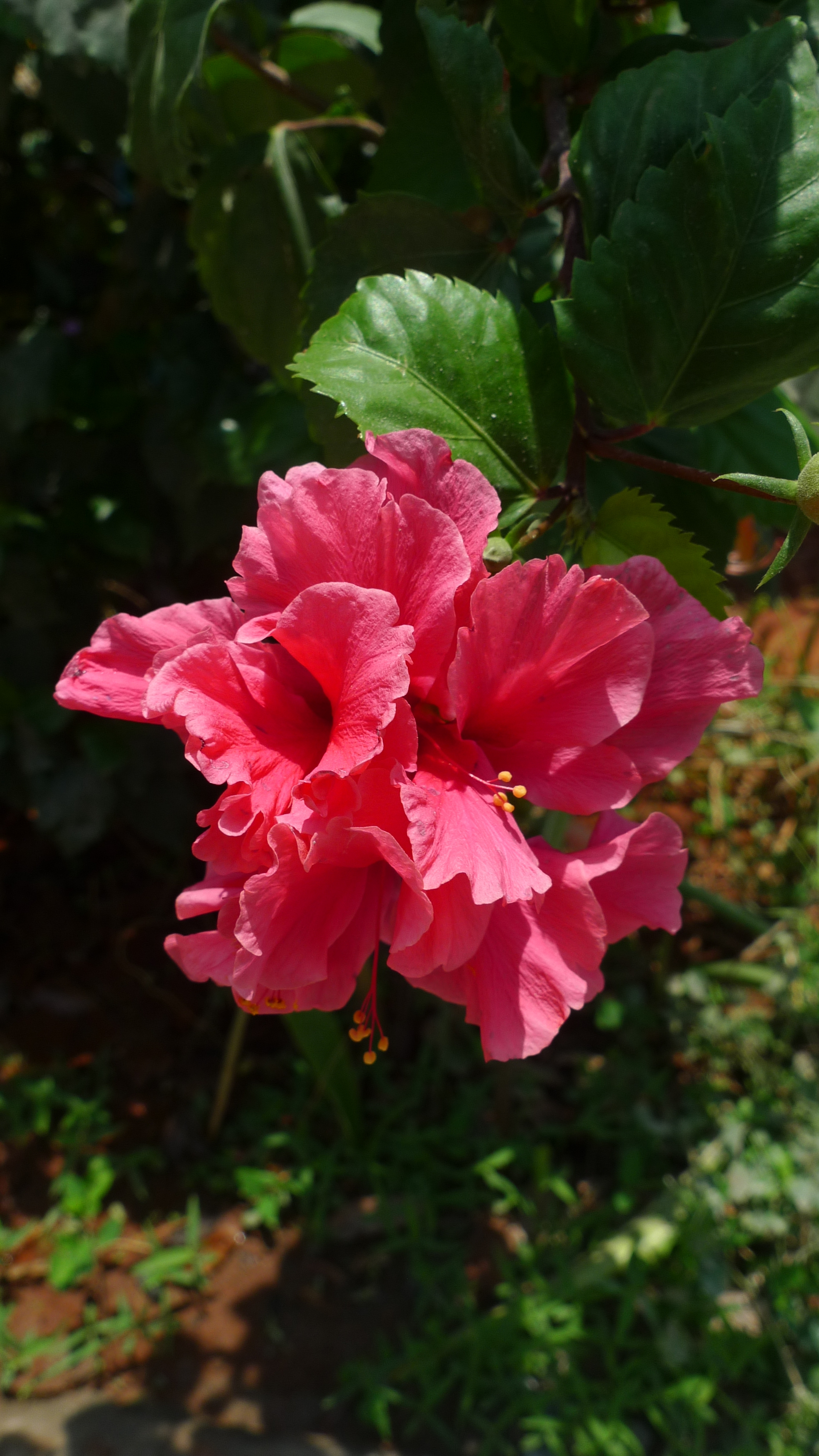 Garden project international house gorgeous hibiscus izmirmasajfo