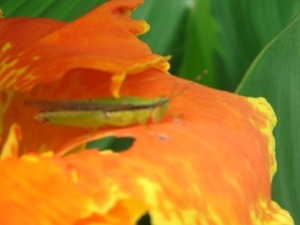 grasshopper on canna flower